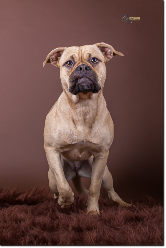 Olde Bulls' Princess, 10 month old. 100% Leavitt Bulldog - David Leavitts Olde English Bulldogge