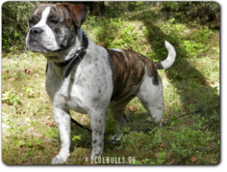Olde Bulls' Tigerlily, 1 Jahr alt - 100% Leavitt Bulldog - David Leavitts Olde English Bulldogge