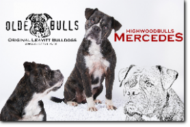 Highwoodbulls Mercedes, 7 years old. 100% Leavitt Bulldog - David Leavitts Olde English Bulldogge