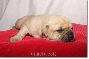 Leavitt Bulldog Olde Bulls' Princess, 2 weeks old.