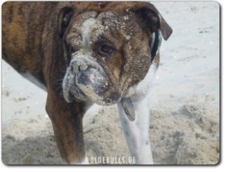 Leavitt Bulldog Olde Bulls' Diego - David Leavitts Olde English Bulldogge