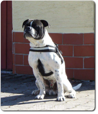 Leavitt Bulldog Olde Bulls' Eddy - David Leavitts Olde English Bulldogge